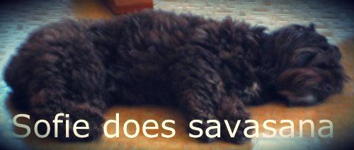 My dog Sofie does savasana (corpse pose)