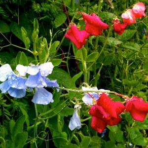 Magenta and periwinkle sweet pea flowers with water droplets