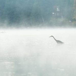 Heron standing in the mist